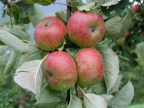 Il melo Casciano