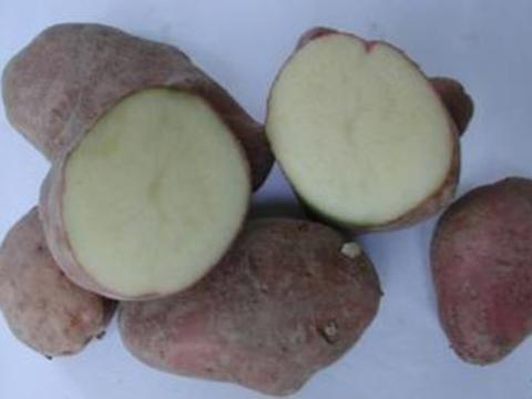Rossa di Sulcina potato